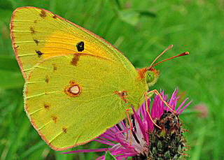 Postillion Colias crocea Clouded Yellow (17199 Byte)