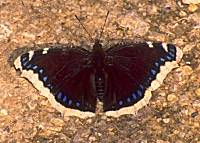 b036.jpg (10672 Byte), Trauermantel, Nymphalis antiopa, mourning cloak