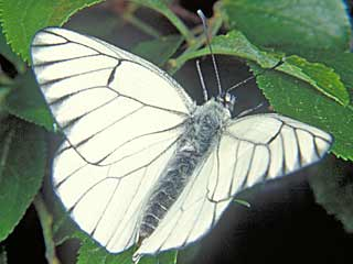 Baumweißling Aporia crataegi Black-veined White