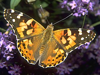 Distelfalter Vanessa cardui Painted Lady  (20692 Byte)