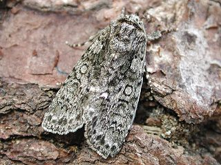 Ampfer-Eule Acronicta rumicis Knot Grass