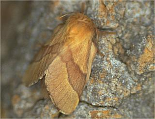 Ringelspinner The Lackey Malacosoma neustria (15849 Byte)