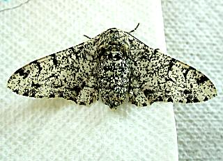 Biston betularia Birkenspanner Peppered Moth (22262 Byte)