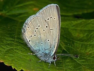Zwerg-Bläuling Cupido minimus Small Blue (13414 Byte)