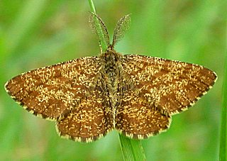 Heidekrautspanner (Männchen) Ematurga atomaria Common Heath (23522 Byte)