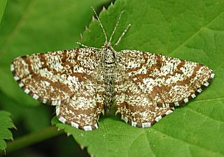Heidekraut-Spanner Common Heath Ematurga atomaria (24735 Byte)