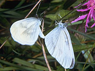 Paarung Tintenfleck-Weißling Leptidea sinapis/reali Wood White (21939 Byte)