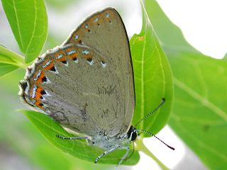 Spanischer Blauer Zipfelfalter Laeosopis roboris Spanish Purple Hairstreak
