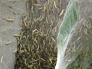 Raupen Baum Eingesponnen