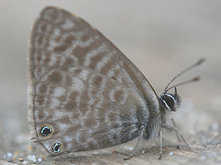 Kleiner Wanderbläuling Leptotes pirithous Lang's Shart-tailed Blue