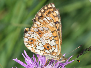 Braunfleckiger Perlmutterfalter Boloria ( Clossiana ) selene Small Pearl-bordered Fritillary (20619 Byte)