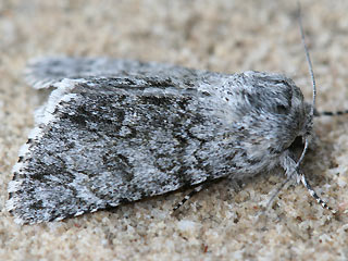 Wolfsmilch-Rindeneule Acronicta euphorbiae Sweet Gale Moth