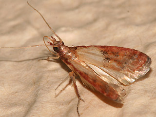 Plodia interpunctella Dörrobstmotte Indian Meal Moth