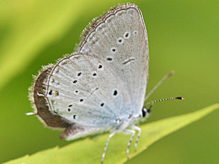Everes decolorata Östlicher Kurzschwänziger Bläuling Eastern Short-tailed Blue