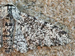 Biston betularia Birkenspanner Peppered Moth