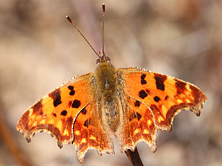 Polygonia c-album  C-Falter  The Comma