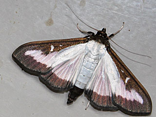 Cydalima perspectalis