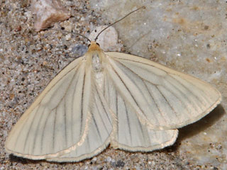 Hartheu-Spanner Siona lineata Black-veined Moth (22992 Byte)