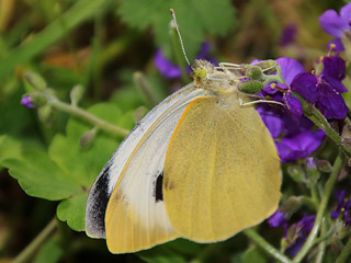 Kanaren-Weißling Pieris cheiranthi Canary Islands Large White