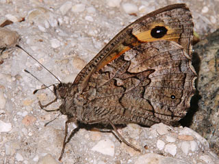 Hipparchia cypriensis  Cyprus Grayling