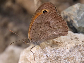 Maniola cypricola  Cyprus Meadow Brown