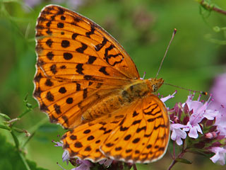Oberseite Brombeer-Perlmutterfalter   Marbled Fritillary   Brenthis daphne