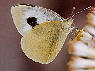 Kanaren-Weißling Pieris cheiranthi  Canary Islands Large White (23205 Byte)
