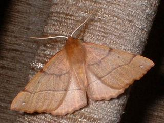 Federfühler-Herbstspanner Colotois pennaria Feathered Thorn