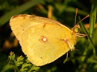 Östlicher Gelbling  Colias erate  Eastern Pale Clouded Yellow