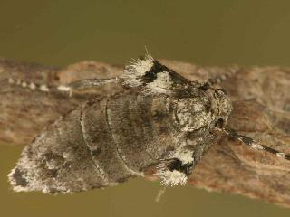 Kleiner Frostspanner Operophtera Brumata Winter Moth