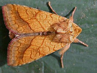 Umbra-Sonneneule  Pyrrhia umbra Bordered Sallow