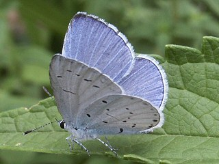 M�nnchen Faulbaumbl�uling Celastrina argiolus Holly Blue