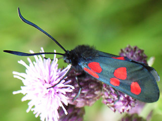 Klee-Widderchen Zygaena lonicerae Narrow-bordered Five-spot Burnet