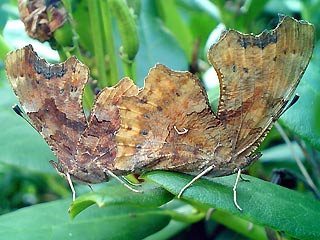 Paarung C-Falter , Nymphalis (Polygonia) c-album The Comma