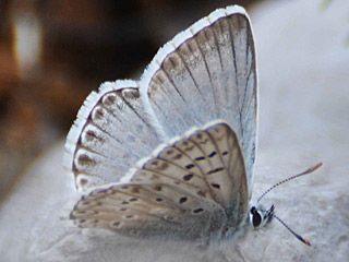 Polyommatus hispana  Provence Chalk-hill Blue