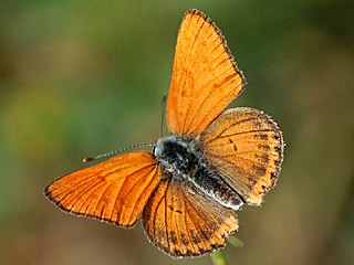 Lycaena thersamon Lesser Fiery Copper