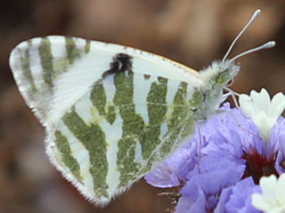 Euchloe belemia  Green-striped White