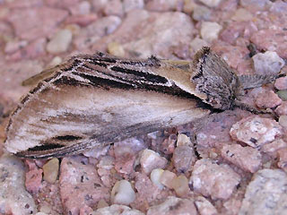 Pappel-Zahnspinner Pheosia tremula  Swallow Prominent