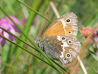 Grosses Wiesenv�gelchen Coenonympha tullia Large Heath