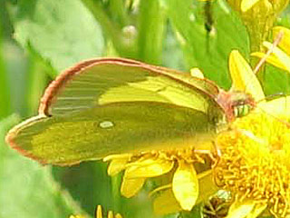 Hochmoor-Gelbling  Colias palaeno  Moorland Clouded Yellow