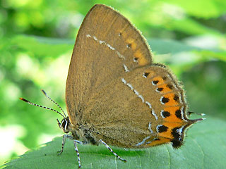 Pflaumen-Zipfelfalter Satyrium pruni Black Hairstreak