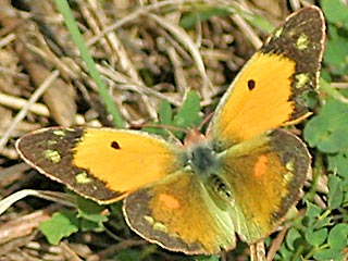 Weibchen Postillion Colias crocea Clouded Yellow