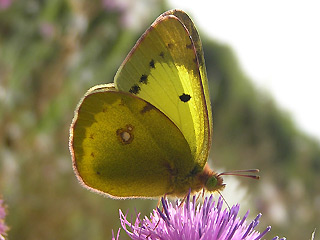 Östlicher Gelbling Steppengelbling Colias erate Eastern Pale Clouded Yellow