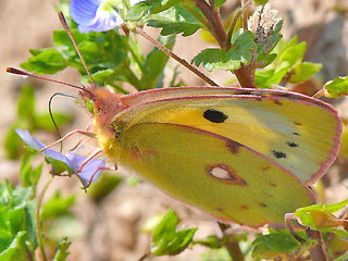 Weibchen f. helecina Postillion Colias crocea Clouded Yellow