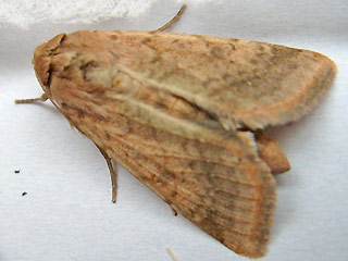 Baumwolleule Helicoverpa armigera Scarce Bordered Straw