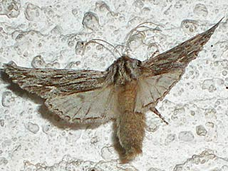 Asteroscopus sphinx  Herbst-Rauhaareule  The Sprawler