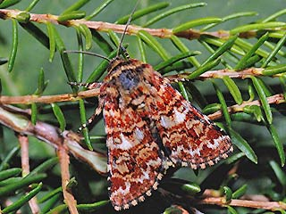 Anarta myrtilli Heidekraut-Bunteule Beautiful Yellow Underwing