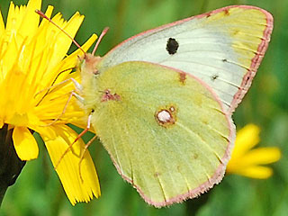 Alpen-Gelbling Colias phicomone Mountain Clouded Yellow