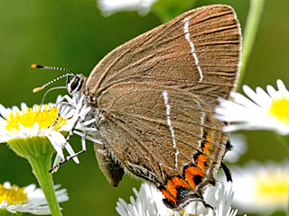 Ulmen-Zipfelfalter Satyrium w-album White-letter Hairstreak