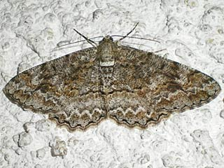 Alcis repandata  Wellenlinien-Rindenspanner  Mottled Beauty